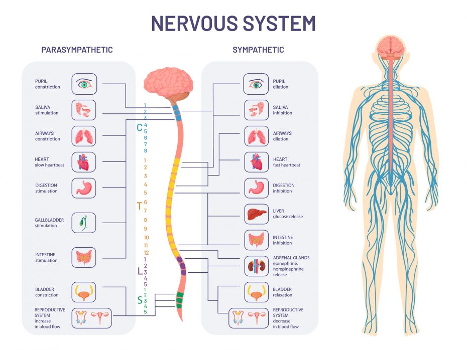 uman nervous system. Sympathetic and parasympathetic nerves anatomy and functions. Spinal cord controls body internal organs vector diagram. Illustration anatomy biology nerve.